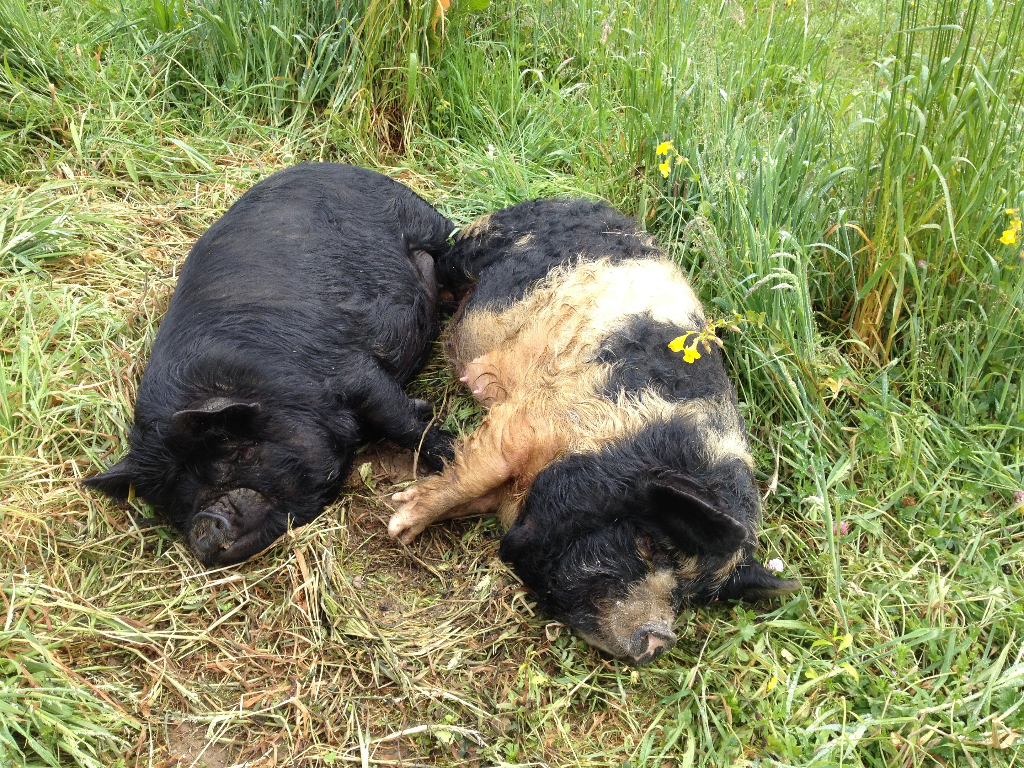 Two sows